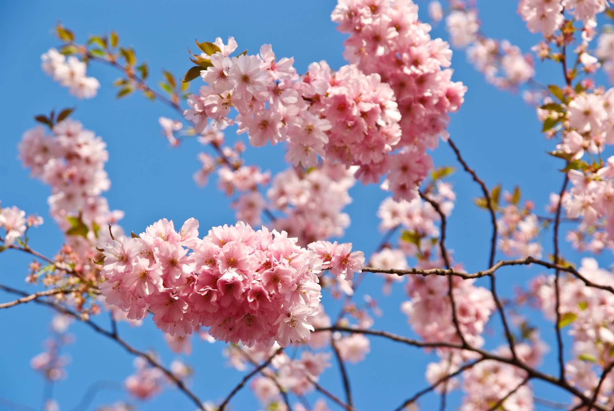 Kirschblütenwege in Berlin